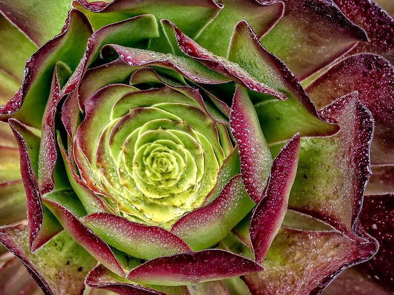 Inside Marroon Flower-2