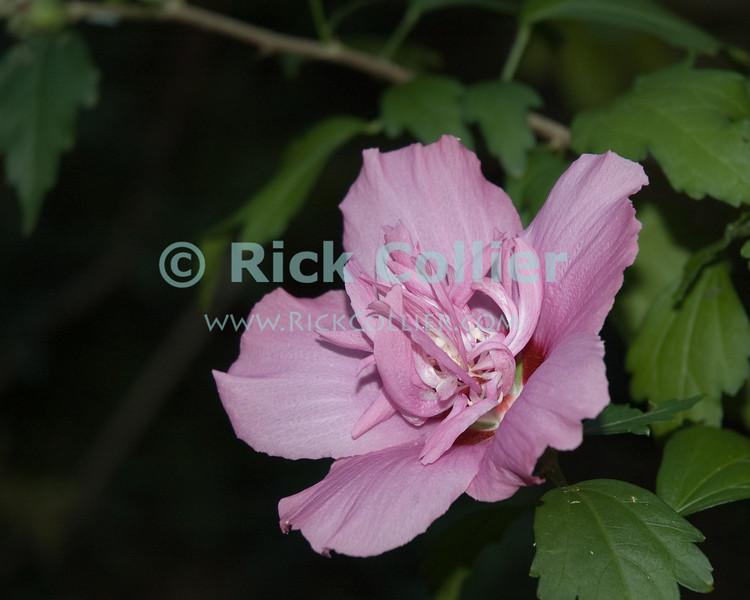 Flower closeup.  Reston, Virgina, USA.  © Rick Collier