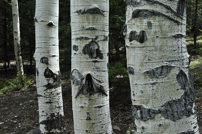 Aspens at Williams Creek Colorado