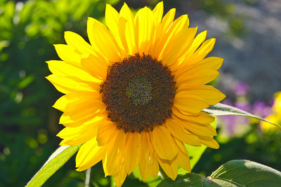 Sunflower in Bloom #2444