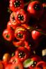close up HOYA orange red berries DSC_1399 1