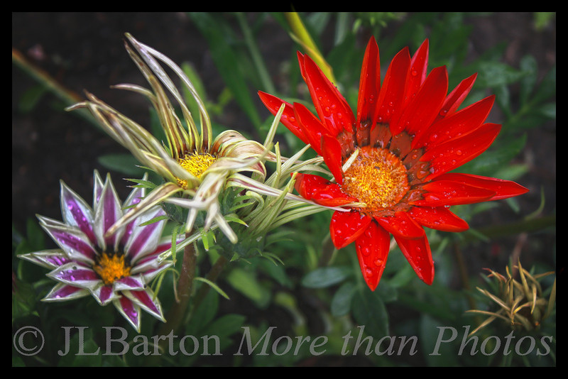 Gazania - spiky flowers in many colors that close up at night