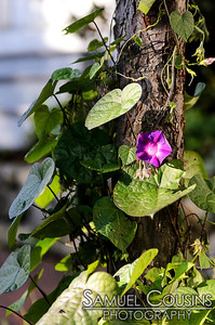 A flowering vine climbing a tree on Munjoy St.