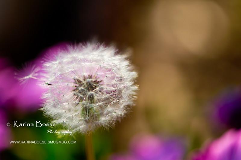 DSC_7454 dandelion weeds macro 2010 1