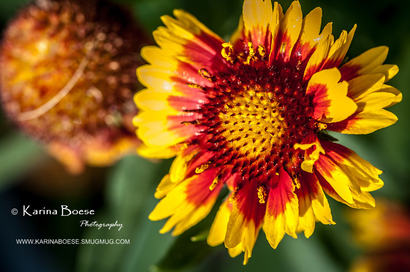 yellow fanfare blanket flower-8548