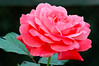 Rose in Full Bloom-0031