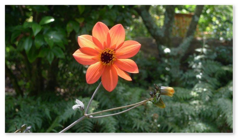 Dahlia. Botanical Gardens. Auckland, New Zealand
