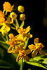 butterfly weed flowers yellow garden DSC_8908 1