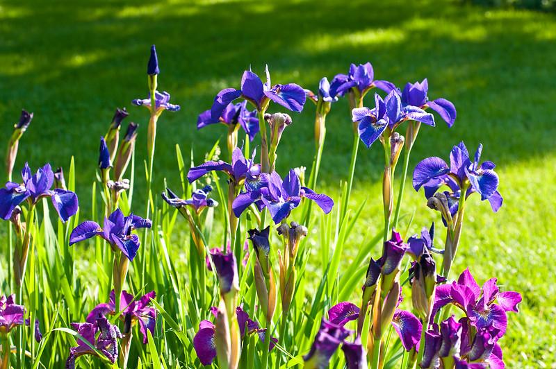 Two Tone Wild Irises