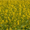 Wild Mustard...