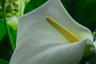 Calla Lilly unfolding near the pond at Melinsy Mill, England