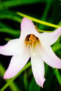 Rain Lily DSC_5903
