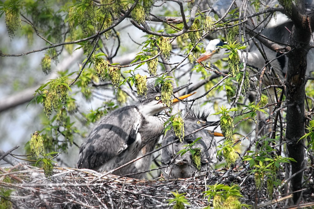 Growing Fast 2013-04-22  A few days ago I posted a shot of a newly born Heron and mother (http://www.jerrybarton.eu/gallery/12809003_GAzkc#!i=2463722719&k=Jh59WCR)  Here is the update - two chicks getting bigger quickly.  I may manage another shot in a few days, but leaves are now growing on the trees. Many thanks for your kind comments on the white heron shot.  I'll keep trying for a closer one.