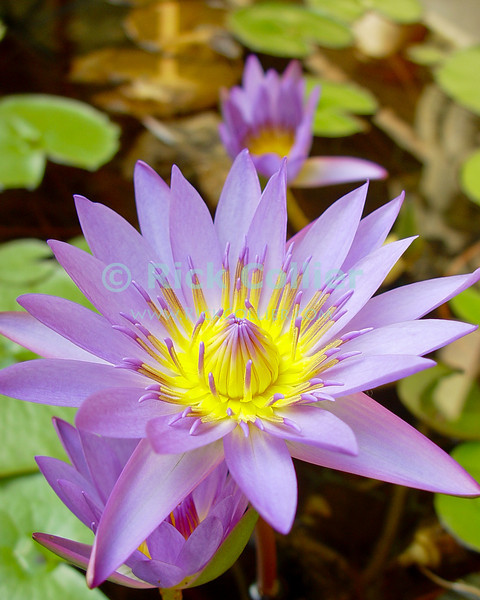 Amanoka Villa, Discovery Bay, Saint Ann Parish, Jamaica.  A purple water lily (Nymphaeaceae) blooms in a reflecting pool.  © Rick Collier<br /> <br /> <br /> <br /> <br /> <br /> Jamaica Discovery Bay Dry Harbor Bay Amanoka Villa tropical paradise relaxation calm water lily nymphaeaceae water lilies pool reflecting pool flower flowers yellow purple calm