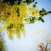 Flowers and plants. Golden chain tree