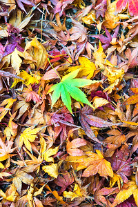 Hint of green, fallen Japanese Maple leaves