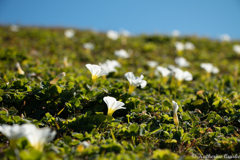 Hill of White Flowers