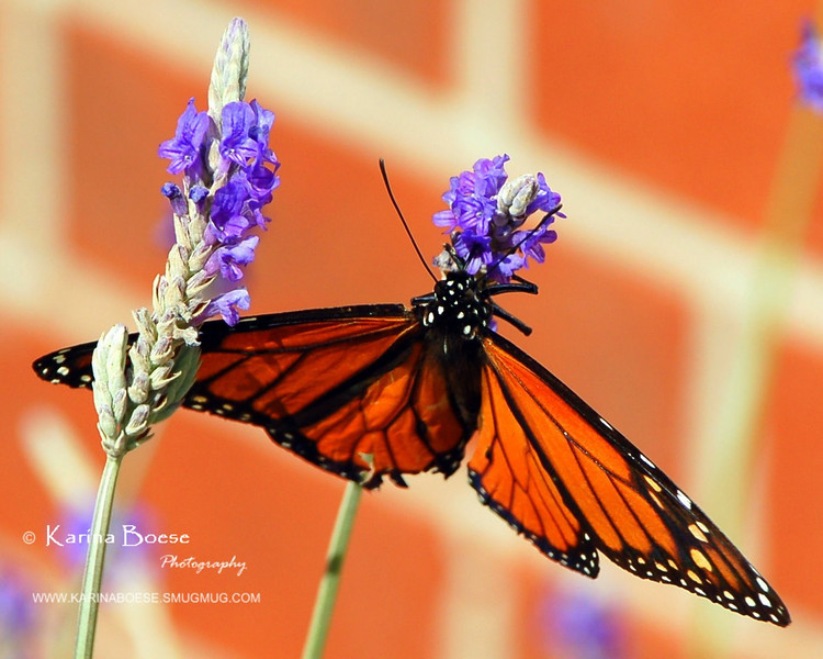 Butterfly on Lavender<br /> Boese's backyard - 2005