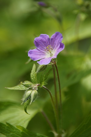 Wild Geranium, William O'Brien State Park, Minnesota