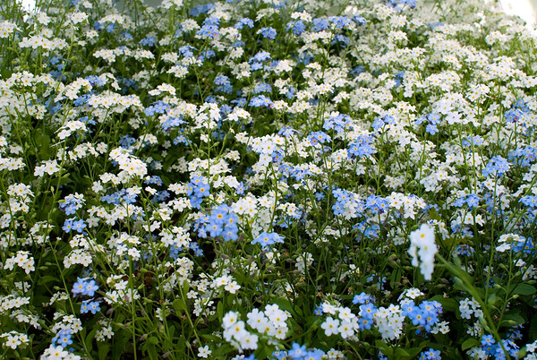 Forget-me-not field.