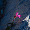 18-Pink Penstemon<br /> Sierra Nevada, CA