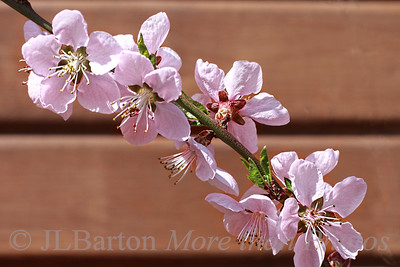 Peach blossoms 2013-03-20  We have a small young peach tree in the garden, against the shed wall where it is somewhat protected.  There were no buds until a few days ago, and now it is in full bloom.  I think Nature is trying to catch up. Thanks for the kind comments on yesterday's hawk.