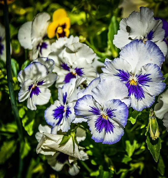 White & Purple Poises-