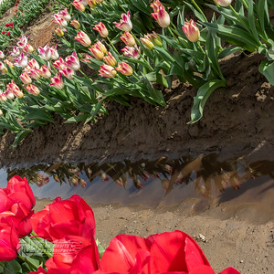 Holland America Tulip Farm, Woodland Washington