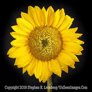 Sunflower - Copyright 2018 Steve Leimberg UnSeenImages Com _DSF6802