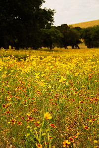 Wildflowers at Canyon Lake Dam, Canyon Lake, Texas