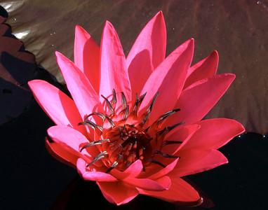Pink Water Lily I, Mo. Botanical Garden