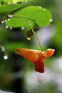 Jewelweed with Raindrops