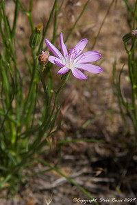 Wildflower - Dinosaur National Monument, Utah