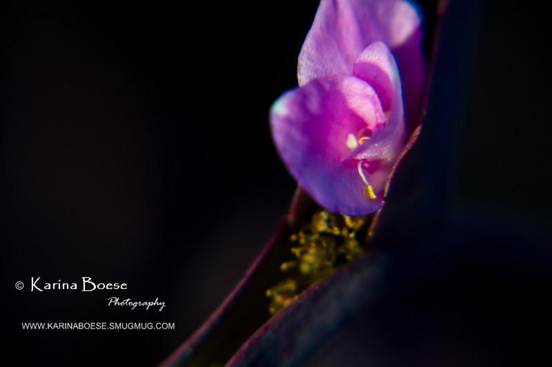 wandering jew close up HOYA flower purple DSC_1395 1