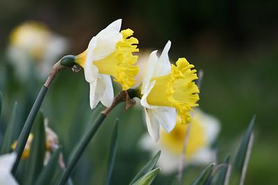 Daffodils (IMG_009)