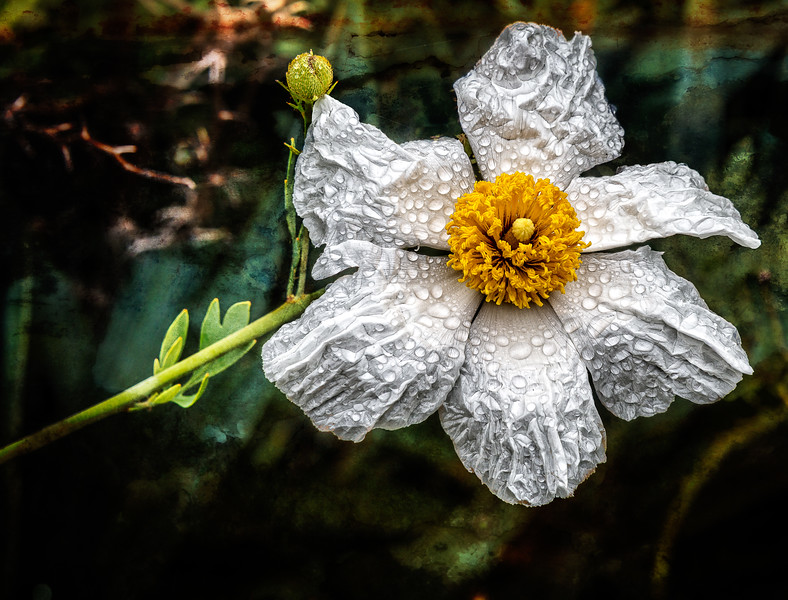 White Flower with Dew Drops-7227