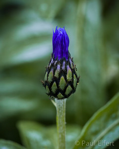 Ready to bloom. Centaurea Cyanus - Bachelor's Button. Of the Aster family of wildflowers.