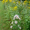 Goldenrod and Aster