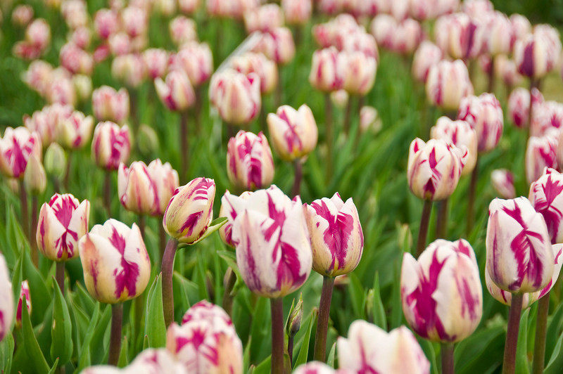 2009 April 18_Skagit Wa_Tulip Festival_25