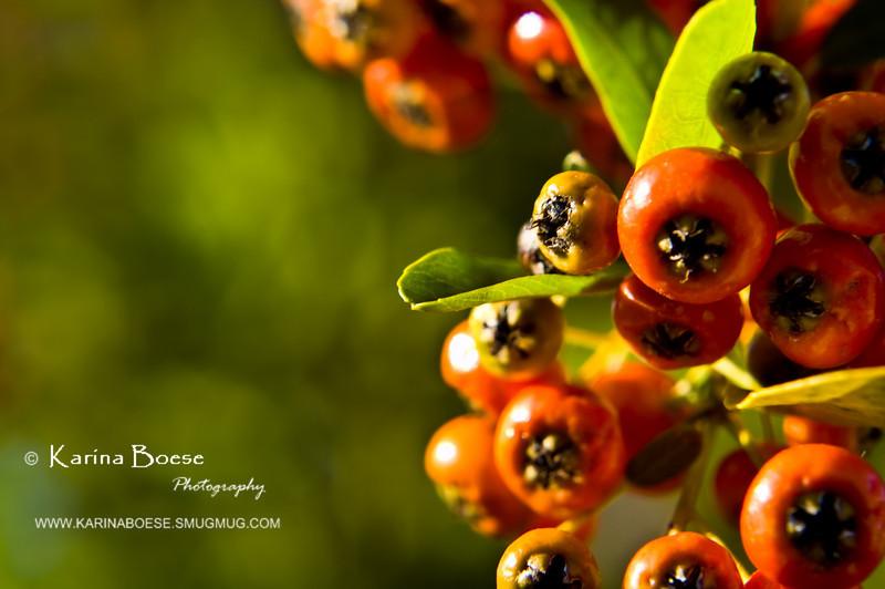 orange berries garden DSC_8897 1