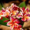 Flowers and plants.Plumeria-Flames of the Sun.