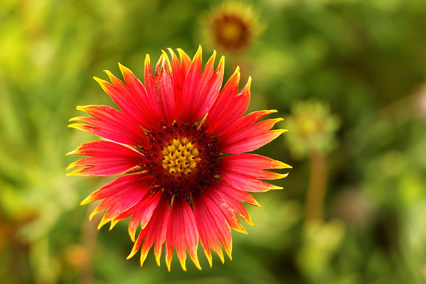 Indian Blanket Flower (Gaillardia pulchella) - St. Marks NWR, Florida