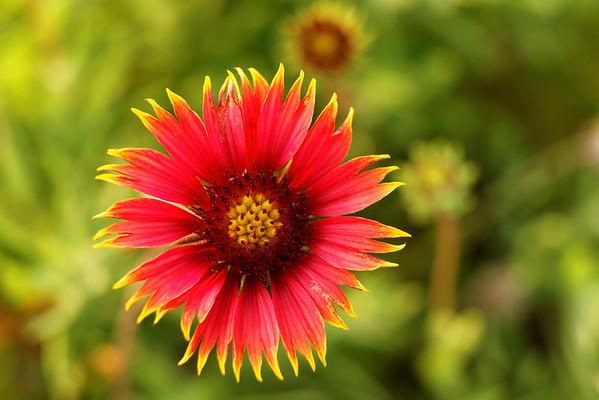 Indian Blanket Flower (Gaillardia pulchella) - St. Marks NWR, Florida