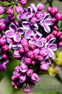 Lilacs with a really tiny spider
