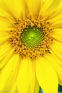 Young Sun Flower