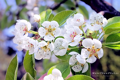 Pear Blossoms 2013-04-26  It is just so *nice* to see everything blooming and blossoming.  This shot is from our garden.  Peach, Pear, and Apple all at the same time.    Have a sunny day.