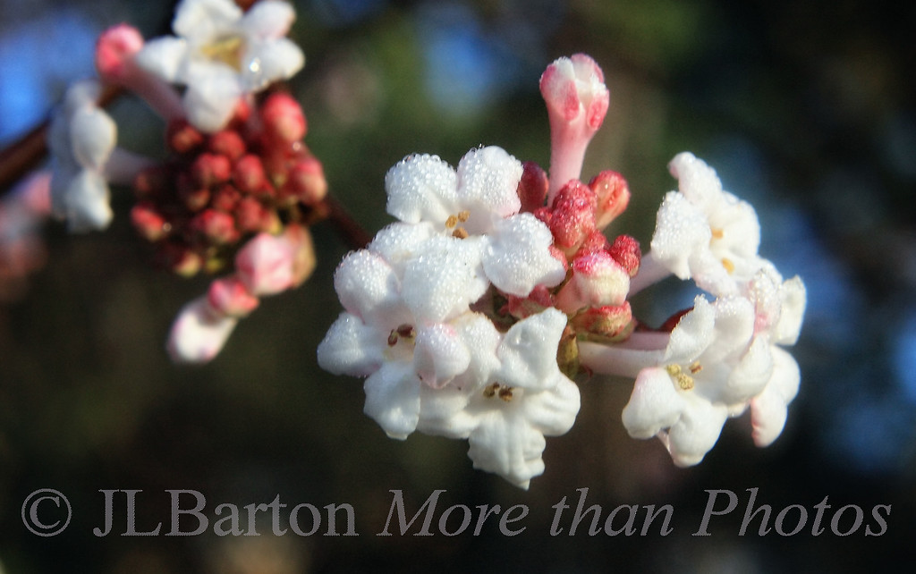 """November Blossoms 2010-11-20  When I woke up this morning there was something unusual outside - sunshine! (it is gone now).  I rushed outside with my camera and took this picture.  This is """"viburnum dawn"""", which blossoms from November through March.  Since the fog/clouds unexpectedly disappeared in the night, we had a light frost or heavy dew.  Thanks for your comments on my stork picture (actually the female and male share the parenting duties)."""