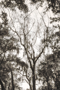 Tall Tree Copyright 2021 Steve Leimberg UnSeenImages Com L1001161