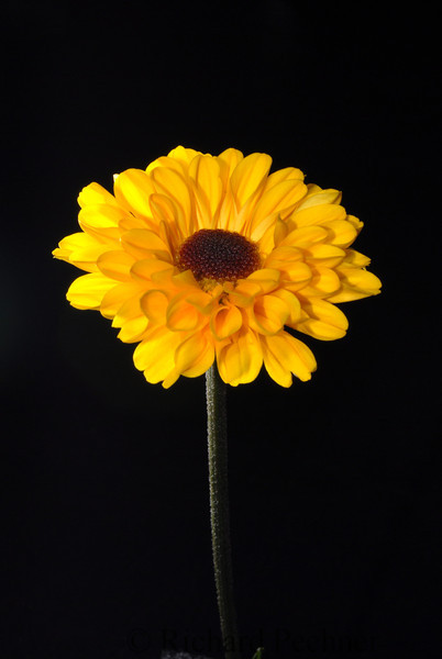 mum sunflower