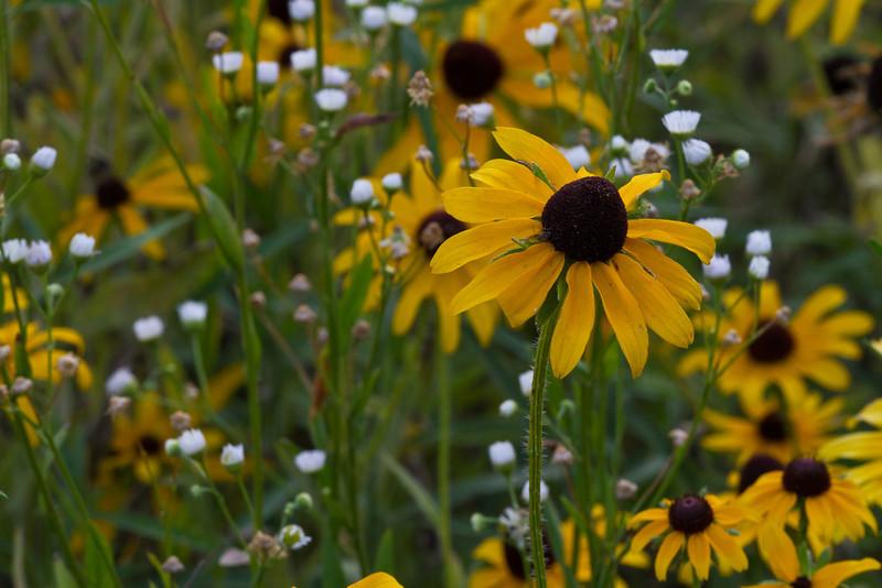 Black eyed Susan - July 12, 2012